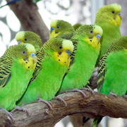 Budgerigar breeding