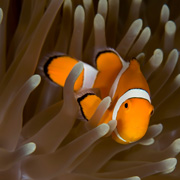 Clownfish in a tropical fish tank