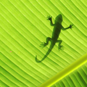 Silhouette of a lizard of a leaf